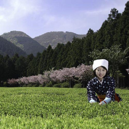 Первый сбор японского чая